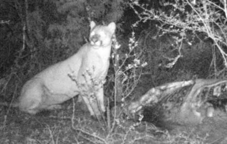 Semarnath confirma la presencia de puma en el noreste de Actopan 2