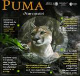 Semarnath realizarán acciones para la conservación del puma en Hidalgo3