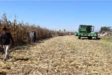 UPFIM logra avances en la cosecha de maíz