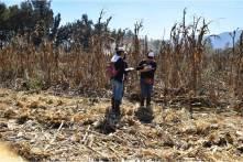 UPFIM logra avances en la cosecha de maíz2