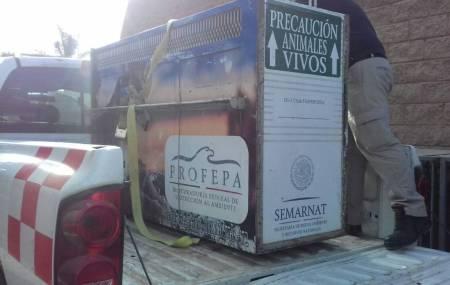 León es trasladado  de Pachuca a santuario de fauna silvestre2.jpg