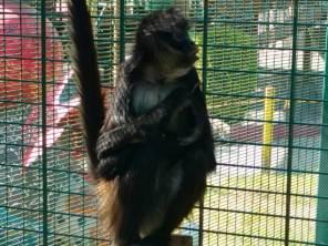 a resguardo mono araña que escapó del parque de convivencia de pachuca3