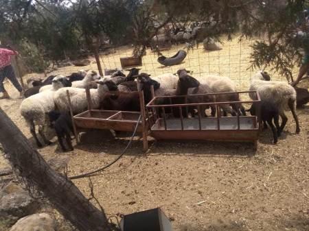 Recuperan ganado presuntamente robado en Apan2