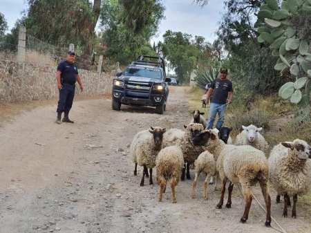 En Zempoala, con apoyo del sistema de video vigilancia, recuperan rebaño de ovinos