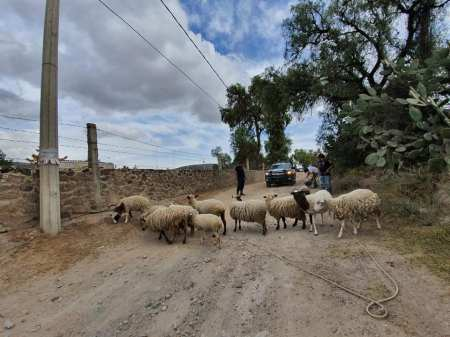 En Zempoala, con apoyo del sistema de video vigilancia, recuperan rebaño de ovinos2
