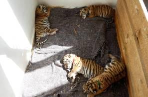 Presentan a los cuatro tigres nacidos en el Centro de Rescate Animal del Bioparque de Convivencia Tizayocan2