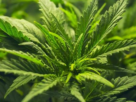 Con la regulación de la cannabis se beneficiará al campo sin asedio del crimen organizado